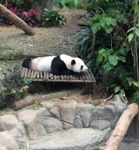 パンダ発見